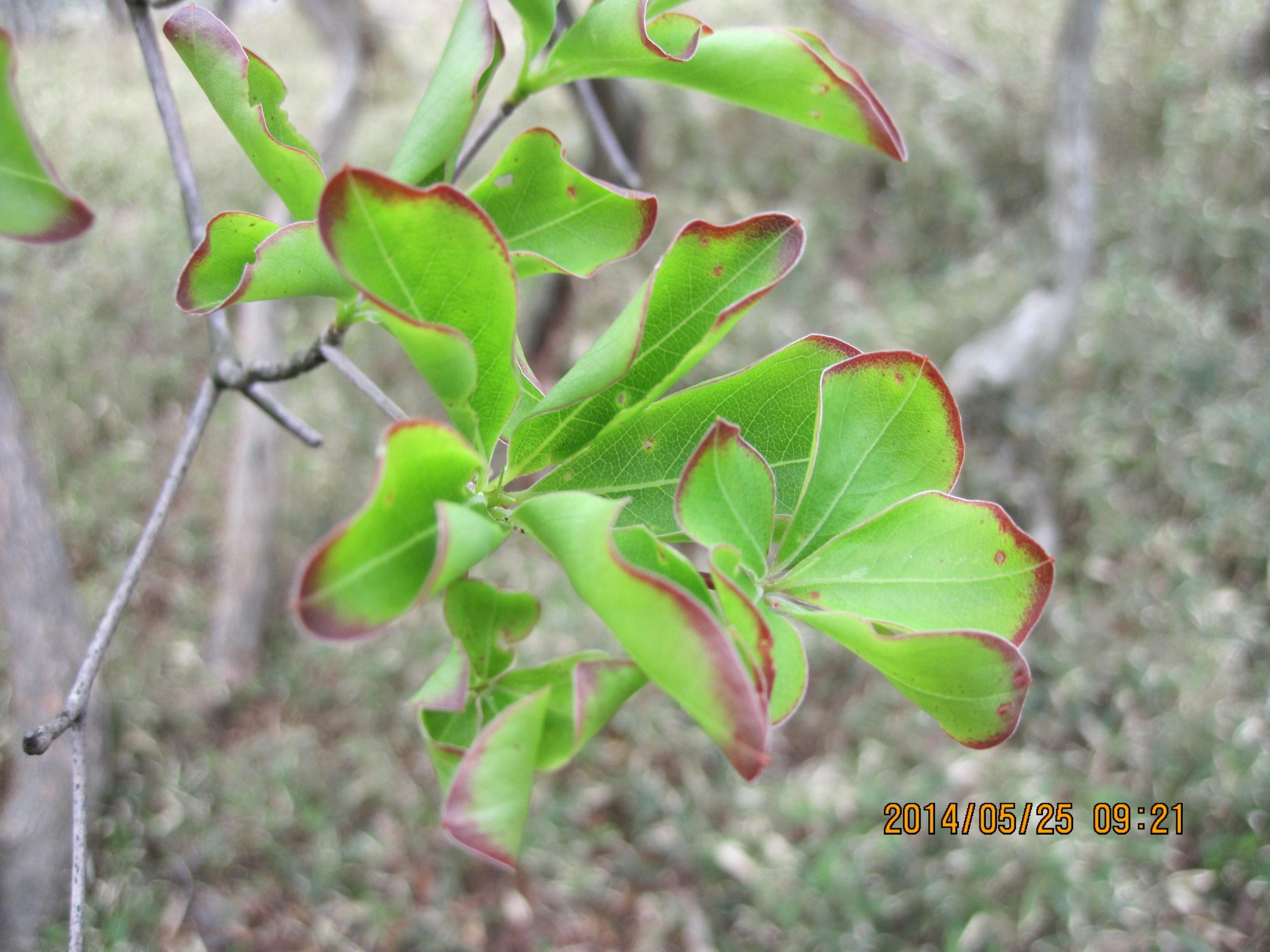 シロヤシオの葉っぱ