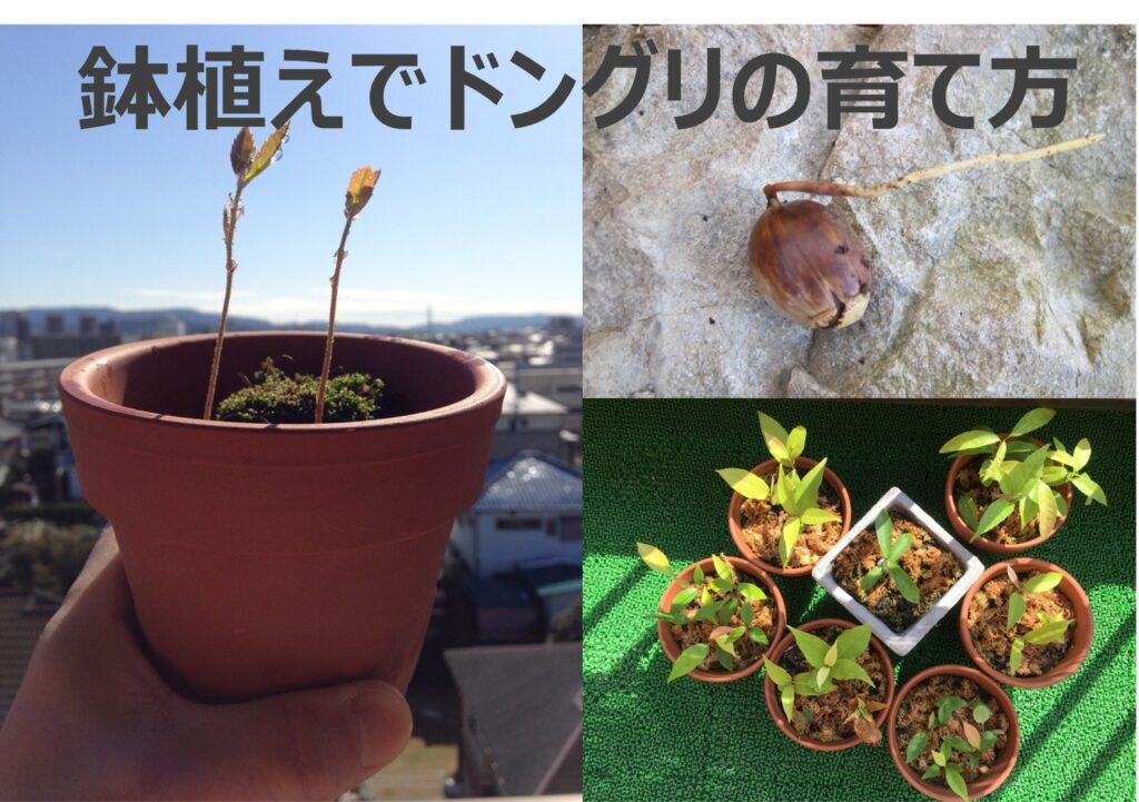 鉢植えでどんぐりの育て方 登山でみつけた『どんぐり』を鉢植えして楽しむ技