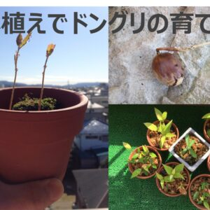 鉢植えでどんぐりの育て方|登山でみつけた『どんぐり』を鉢植えして楽しむ技