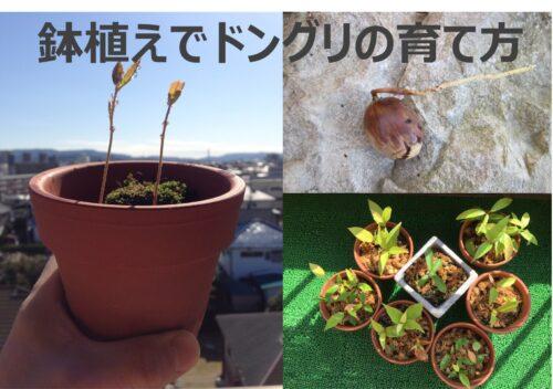 鉢植えでどんぐりの育て方