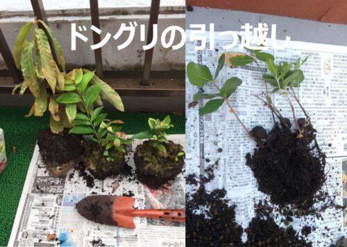 大型の鉢に植え替える